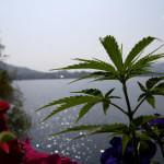 Cannabis poussant librement à Pokhara, Népal