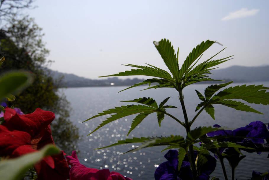 Histoire de la culture du cannabis