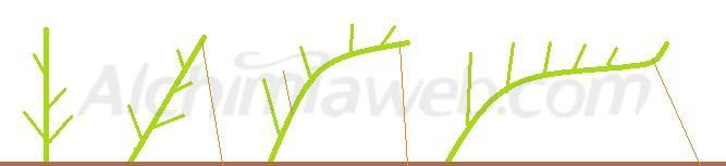 Évolution de la structure d'une plante de cannabis