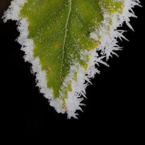 Le cannabis résiste mal au gel.