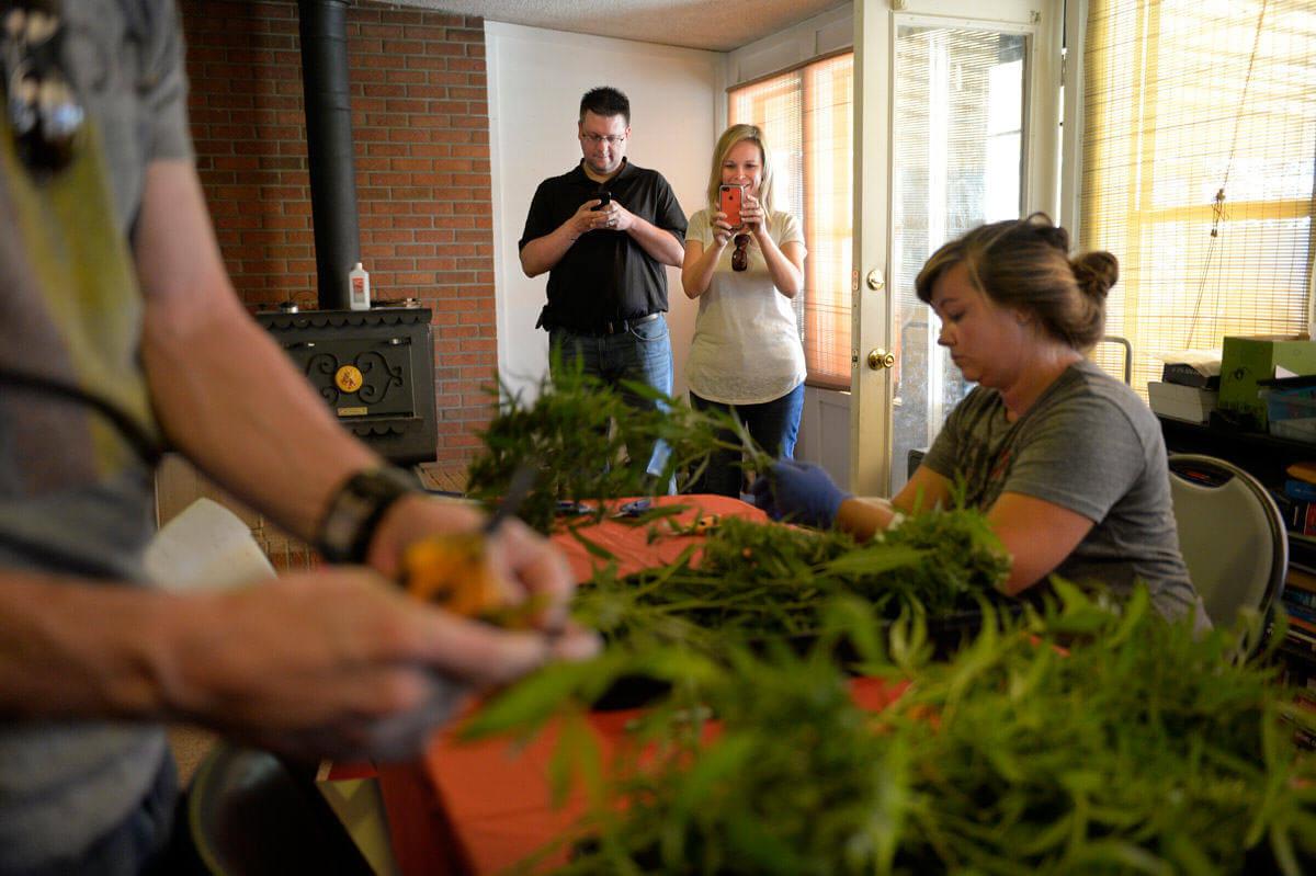 Récolte des plantes de cannabis pour faire de l'huile CBD
