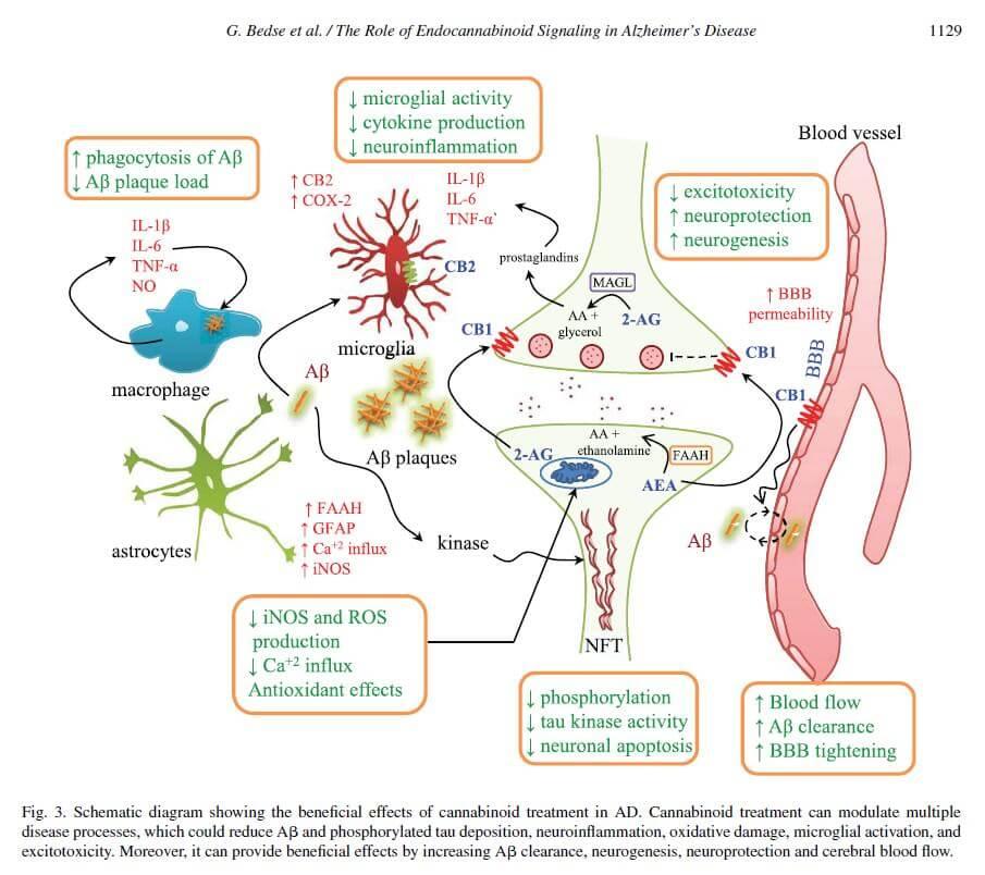 Effets bénéfiques des cannabinoïdes contre la maladie d'Alzheimer
