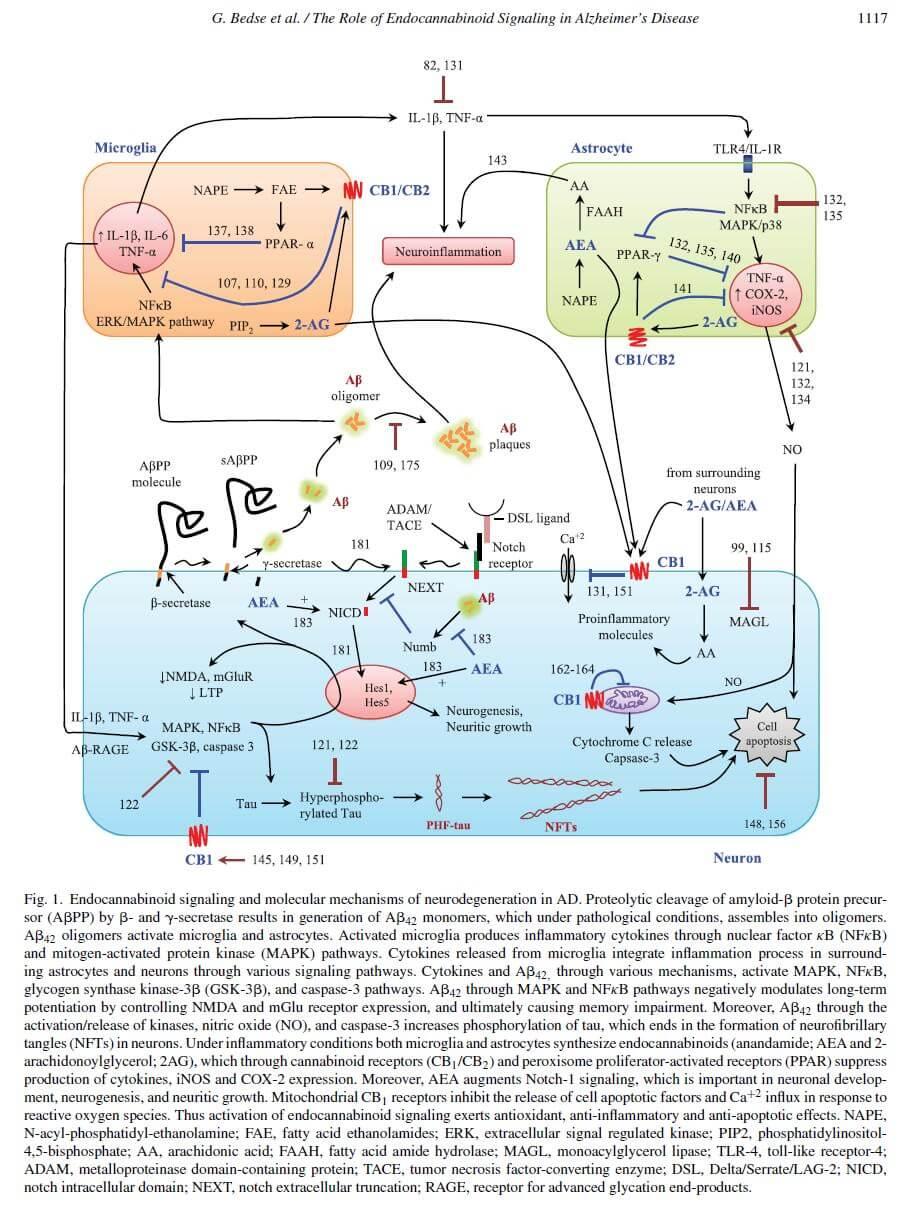 Relations entre le système endocannabinoïde et la maladie d'Alzheimer