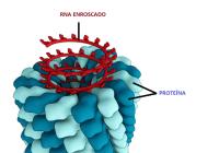 Structure du virus de la mosaïque du tabac (Source : Wikipedia)