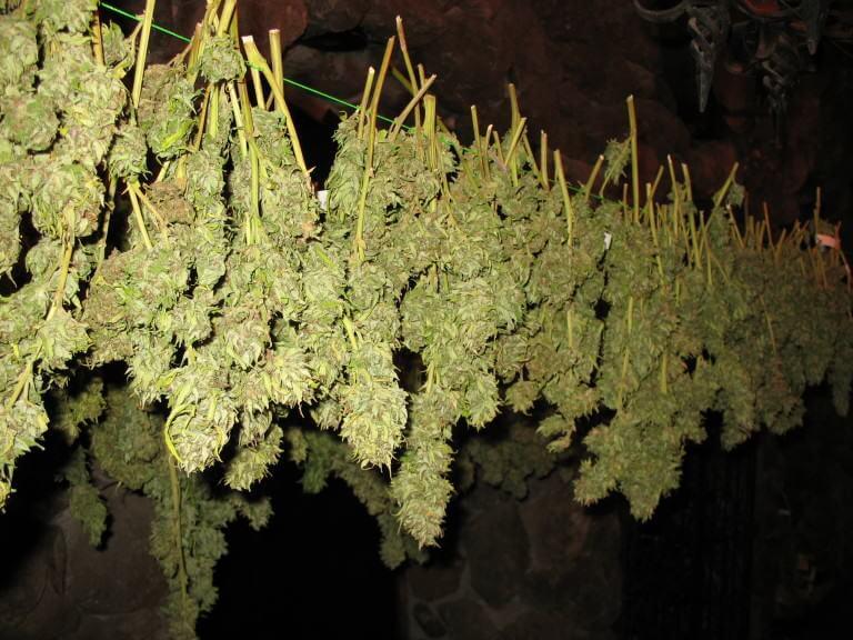 Le cannabis peut développer du botrytis durant le séchage.
