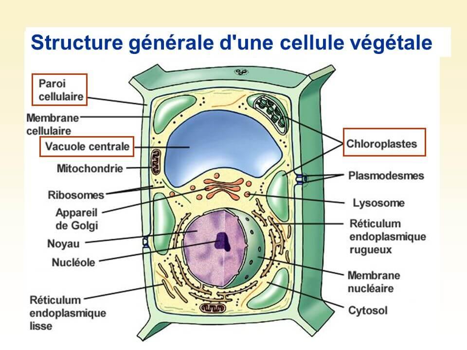 Structure de la cellule végétale