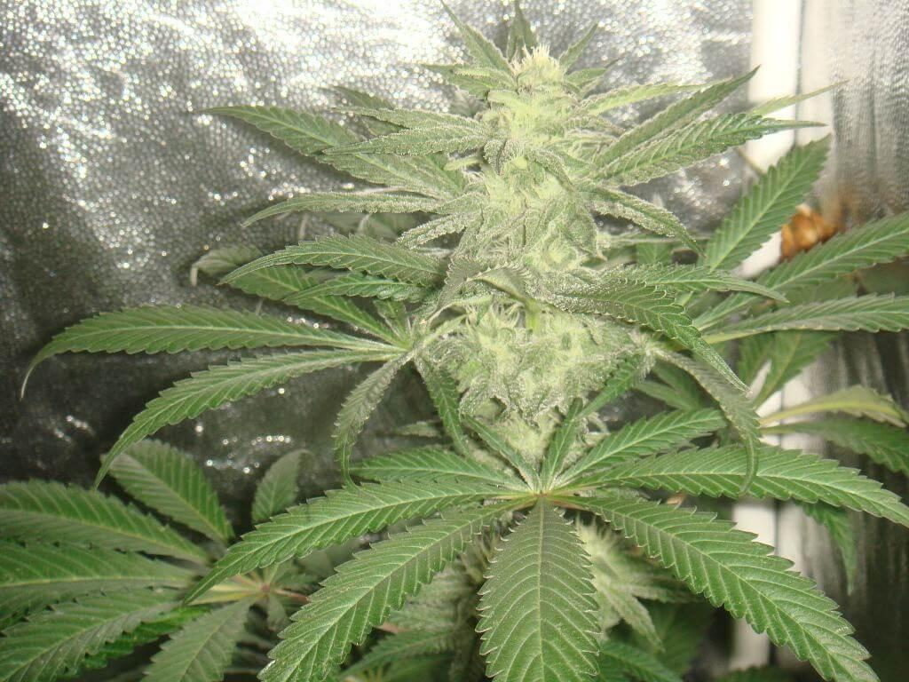 Cannabis Grape Ape