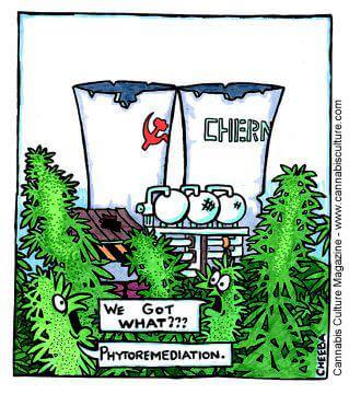 Du cannabis pour décontaminer Tchernobyl