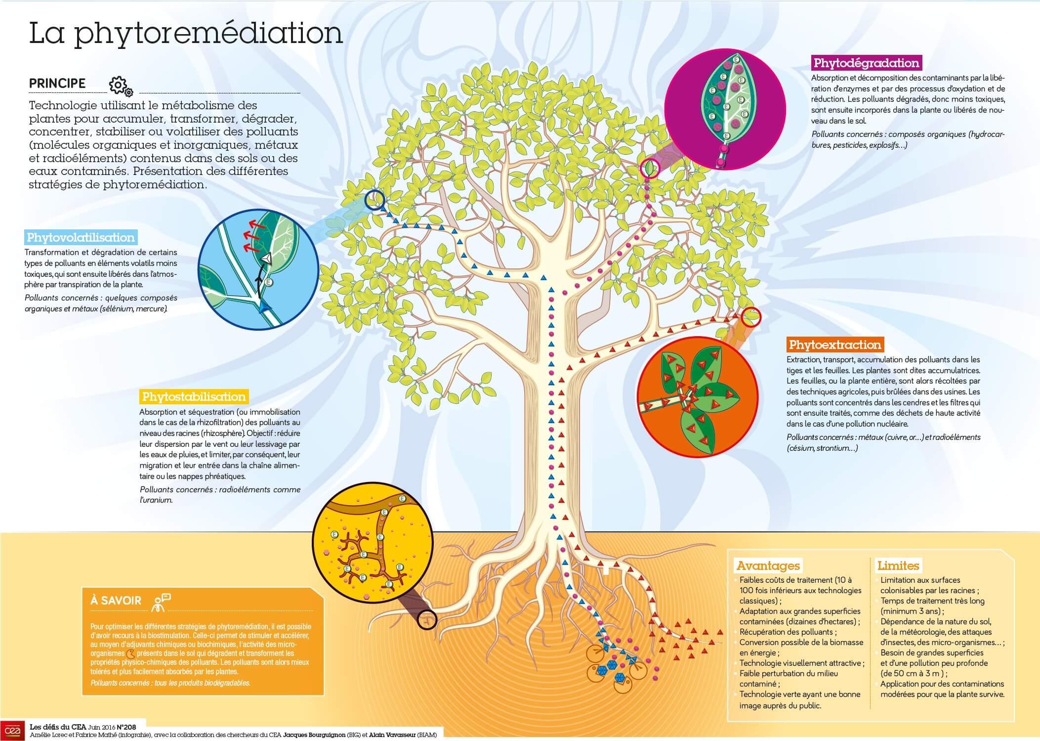 Les différentes formes de phytoremédiation