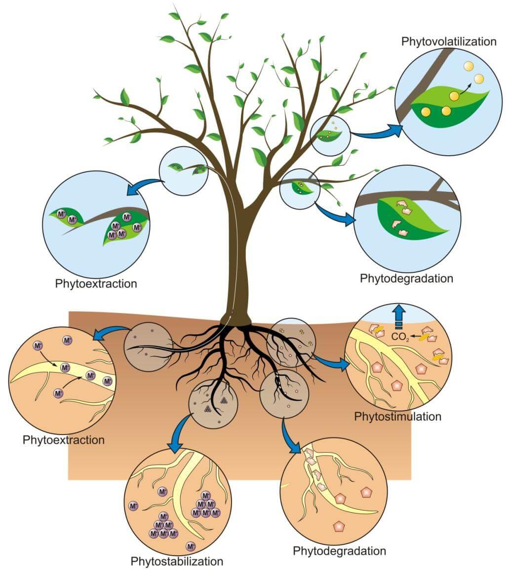 Différentes formes de phytoremédiation
