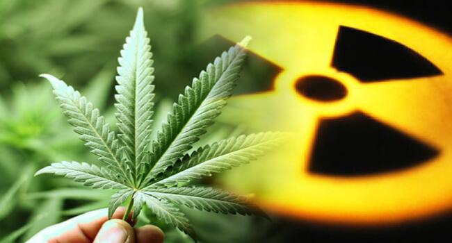 Le cannabis peut être utilisé pour décontaminer les terres radioactives