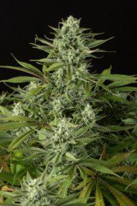 Cannabis Cheese CBD