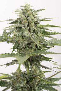 Cannabis Industrial Plant Auto CBD