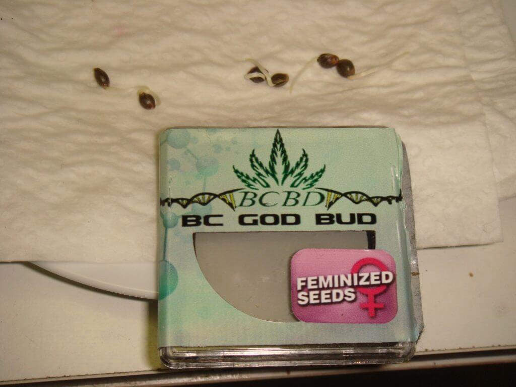 Germination des graines de God Bud