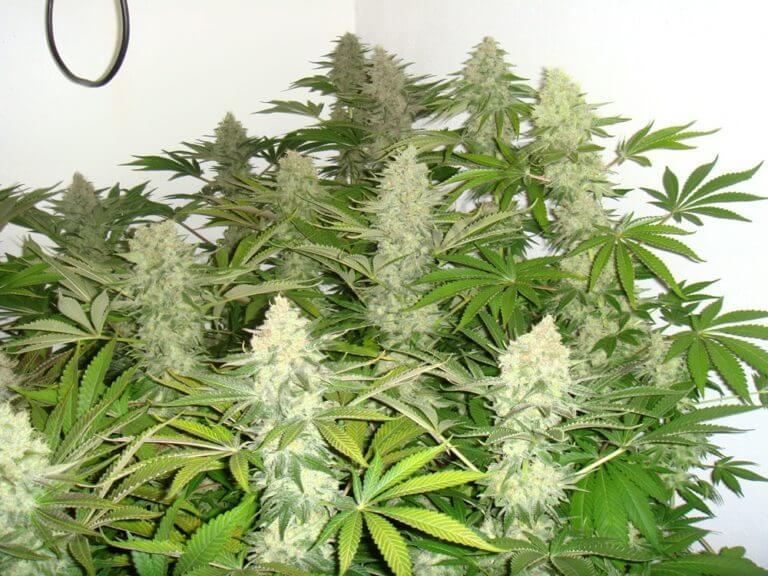 Production maximale de cannabis en intérieur