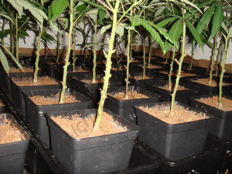 Taille des parties basses de la variété de cannabis Ice Cool