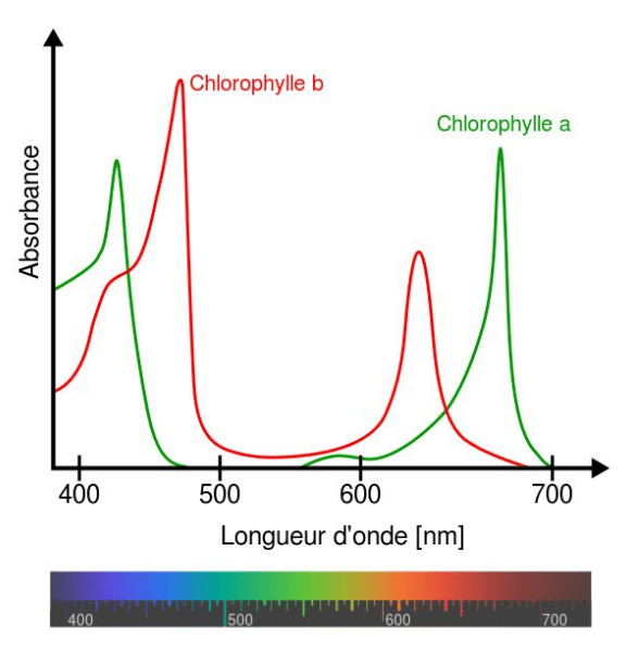 Spectres d'absorption des chlorophylles A et B. source Wikipedia