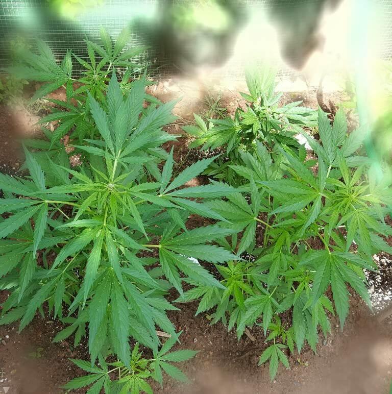 Conseils pour la culture des plantes de cannabis for Culture cannabis interieur engrais