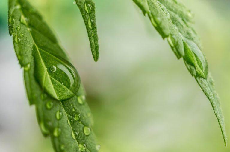 Température et humidité durant la culture du cannabis