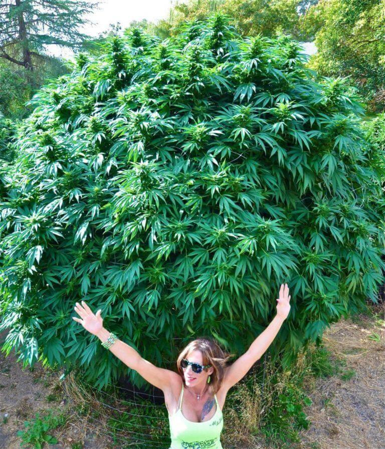 Production maximale de cannabis en extérieur