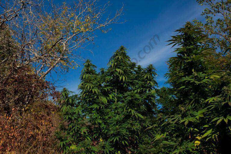 Culture de cannabis en guerilla