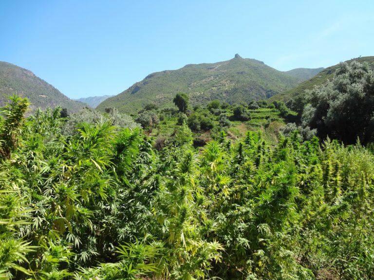 Champ de cannabis au soleil, climat sec