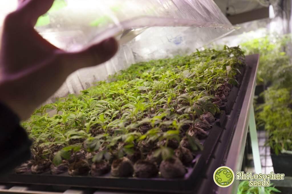Réaliser des boutures de cannabis