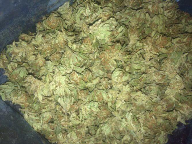 Têtes de cannabis Fresh-frozen, congelées avant séchage