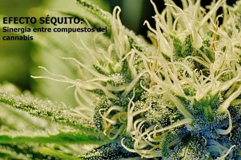 Effet entourage : synergie entre cannabinoïdes et terpènes
