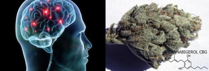 Le Cannabigérol ou CBG présente des propriétés neuroprotectrices
