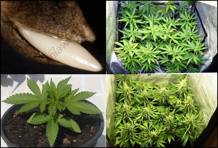Étapes de vie de la plante