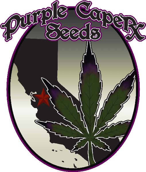 Purple caper seeds blog du growshop alchimia for Graine cannabis femelle exterieur