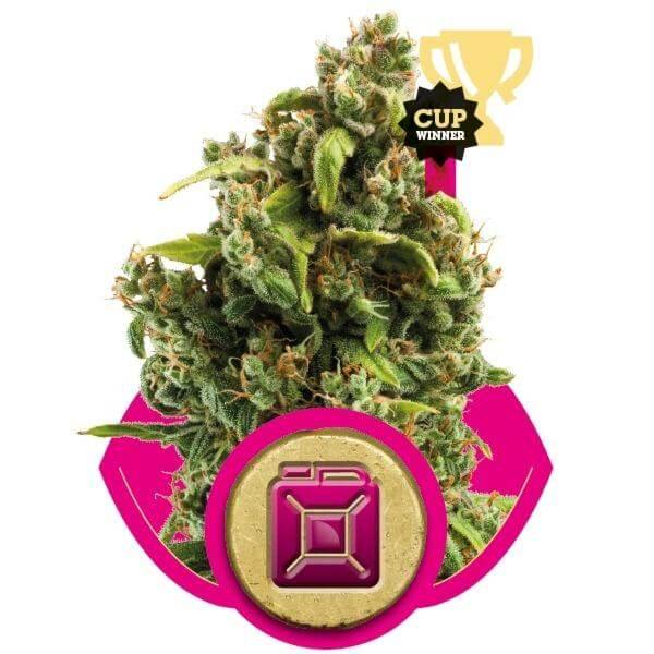 Sour Diesel – Royal Queen Seeds