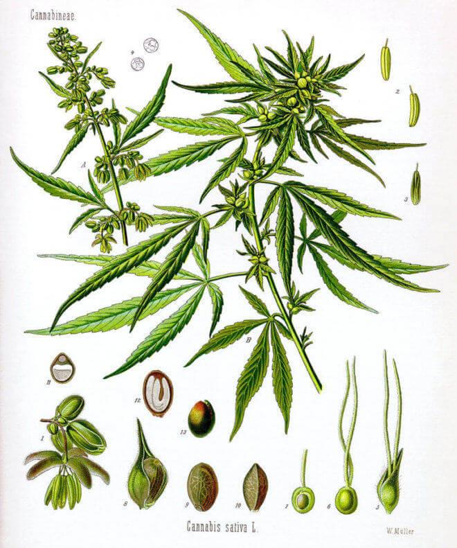 Anatomie de la plante de cannabis