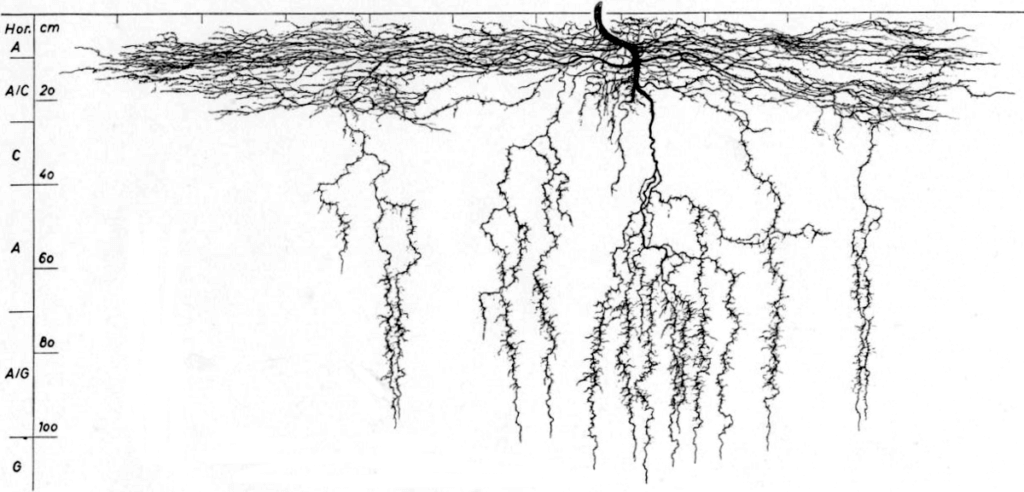 Structure des racines