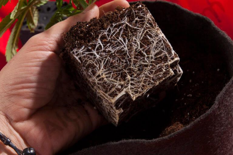 Les racines des plantes de cannabis