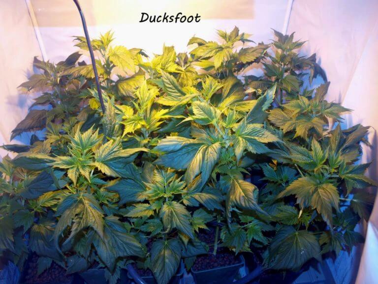 Cannabis Ducksfoot de USC