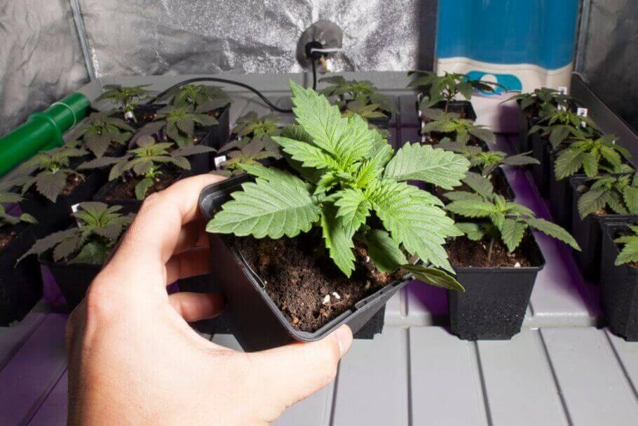 Dans quelques jours cette plante aura besoin d'un rempotage