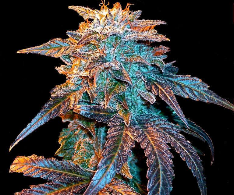 Les 5 variétés de cannabis les plus populaires de 2020