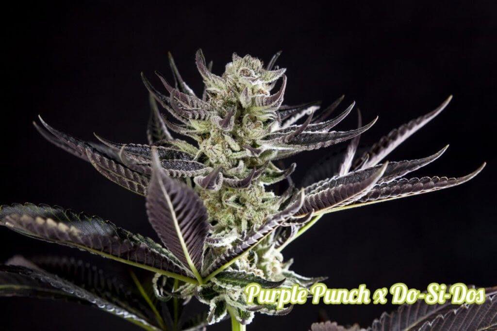 Philosopher Seeds - Purple Punch Dosidos