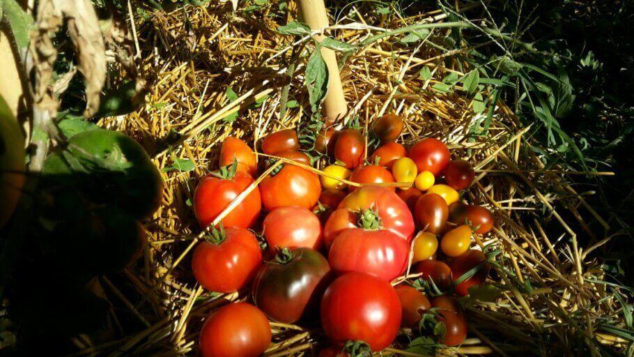 Bonne récolte de tomates