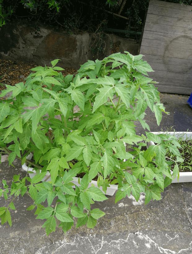 Pied de tomate de remplacement