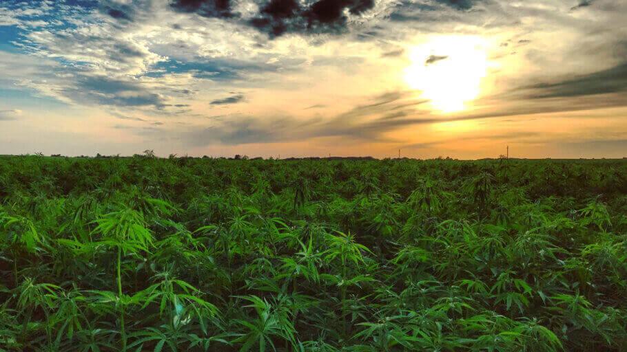 Variétés de cannabis à faible taux de THC