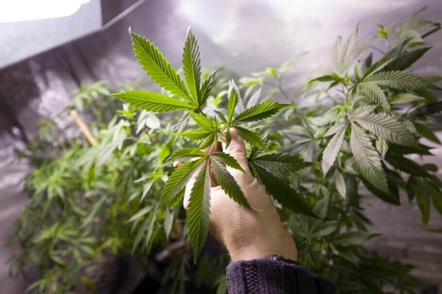 Culture intérieur de cannabis en été