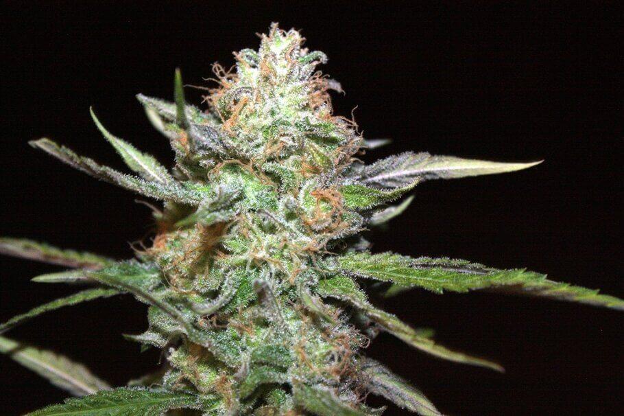 Systèmes de culture de cannabis, lequel choisir?
