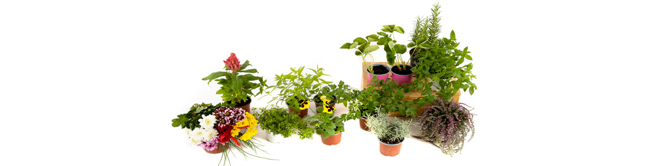Flowers and aromatic plants seeds