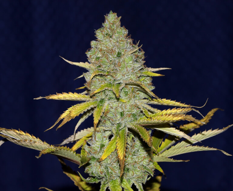 Blueberry Seedsman
