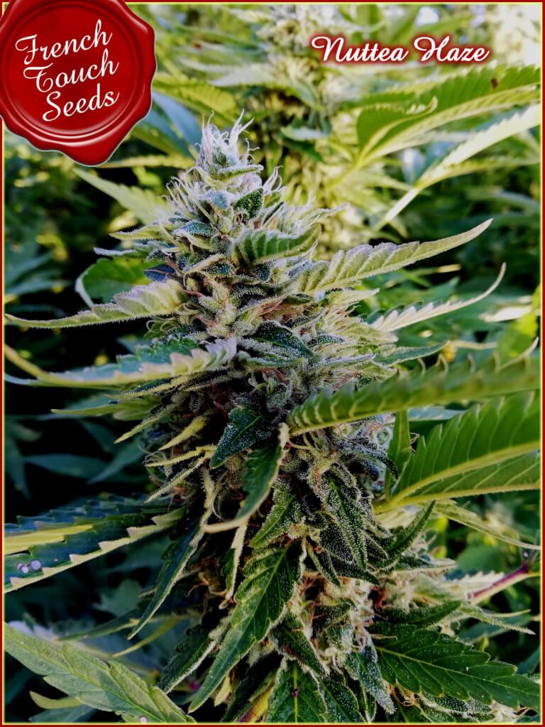 Sale of cannabis seeds Sorbet Stash of DNA Genetics