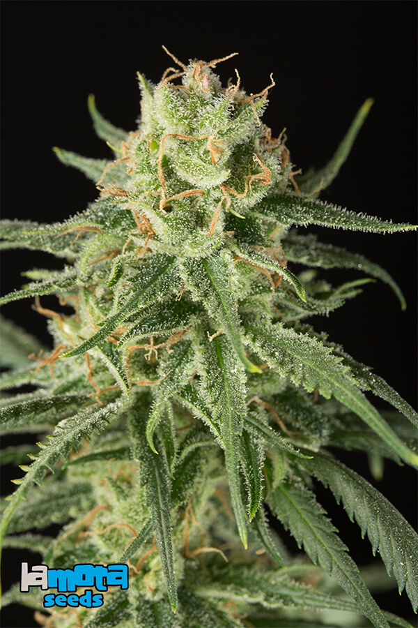 LaMota Seeds, USA and Old School genetics, feminised and auto