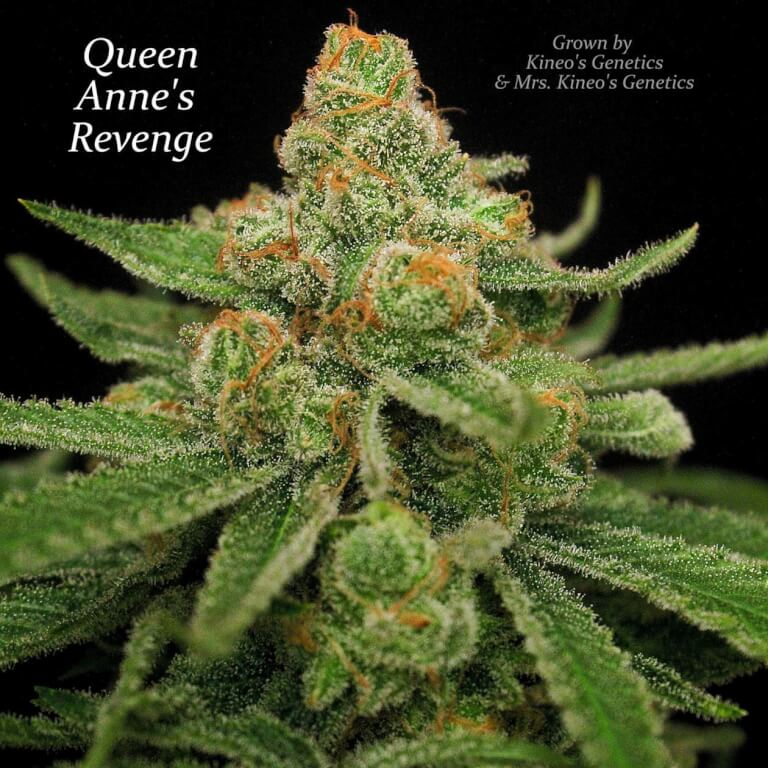 Queen Anne's Revenge - Regular